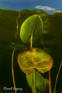 water lily growing by Raoul Caprez 